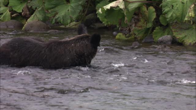 stockvideo's en b-roll-footage met brown bear eating salmon in hokkaido - bruine beer