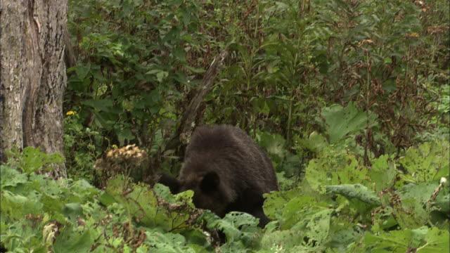 Brown bear eating salmon in Hokkaido