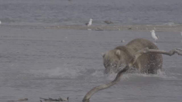 brown bear eating salmon it caught, kurile lake, kamchatka, russia - killing stock videos & royalty-free footage
