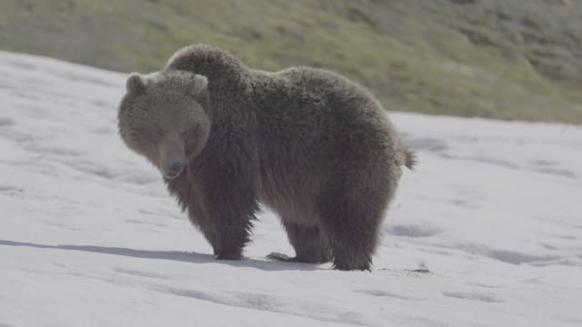 vidéos et rushes de brown bear eating snow and defecating, valley of geysers, kamchatka, russia - mammifère