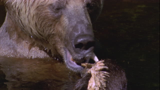 vídeos de stock e filmes b-roll de a brown bear eats a freshly caught salmon available in hd. - cabeça de animal