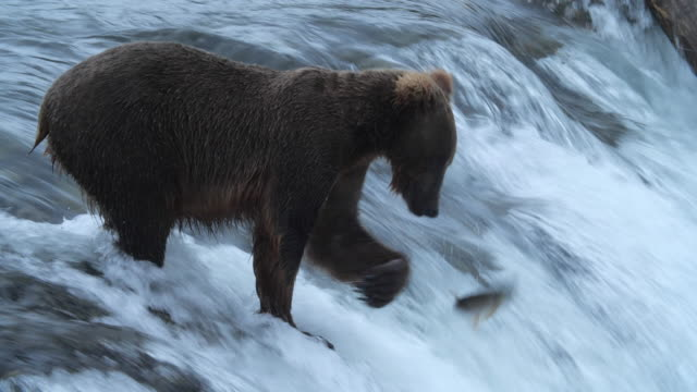 brown bear failed to catch salmon fish in alaska - female animal stock videos & royalty-free footage