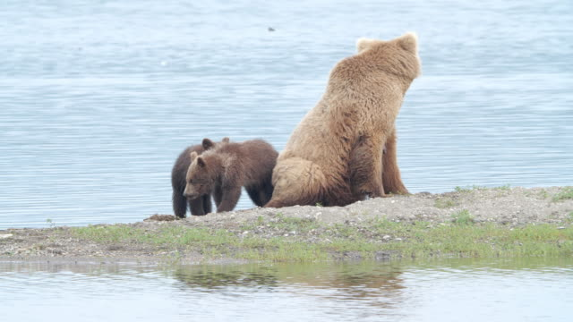 a brown bear family, cubs playing while mom resting on the beach at the katmai national park, alaska - animal family stock videos & royalty-free footage