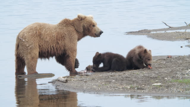 a brown bear family of 3 eating salmon fish on the beach at the katmai national park, alaska - grizzlybär stock-videos und b-roll-filmmaterial