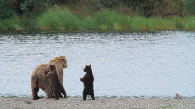a brown bear family relaxing on the beach in alaska, cubs standing up next to their mom - standing stock videos & royalty-free footage