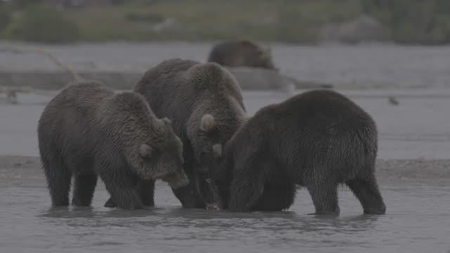 vídeos y material grabado en eventos de stock de brown bear family sharing hunted fish, kurile lake, kamchatka, russia - oreja animal