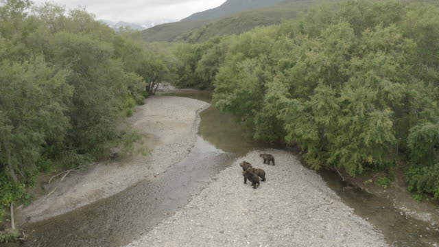 brown bear family walking in kurile lake, kamchatka peninsula, russia - animal family stock videos & royalty-free footage