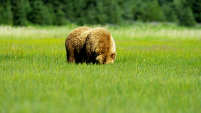 vidéos et rushes de brown bear feeding from rich vegetation alaska usa - ours brun