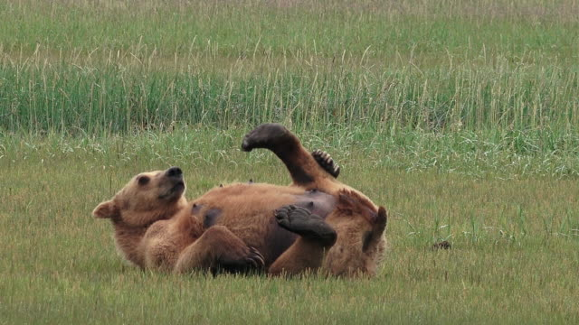 stockvideo's en b-roll-footage met brown bear female rolls on her back and scratches, from coastal alaska - krab