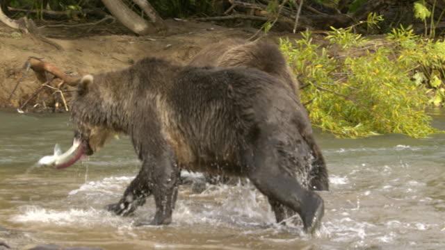 brown bear fighting over salmon, kamchatka russia - braunbär stock-videos und b-roll-filmmaterial