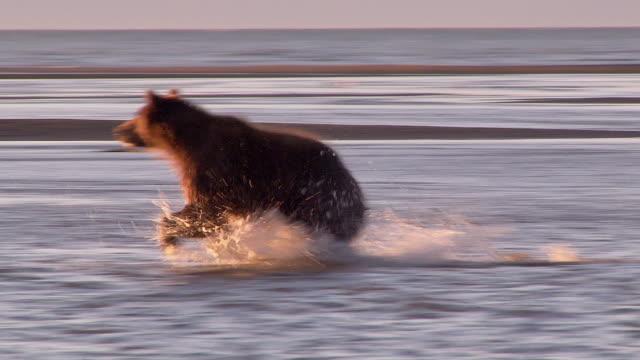 brown bear fishing for salmon, lake clark national park, alaska - catching stock videos & royalty-free footage