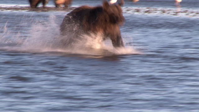 brown bear fishing for salmon, lake clark national park, alaska - 24コマ撮影点の映像素材/bロール