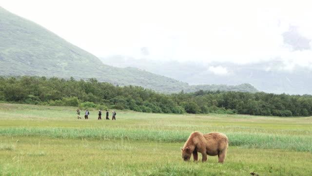 brown bear grazing in meadow, tourists walk behind, from coastal alaska - bär stock-videos und b-roll-filmmaterial