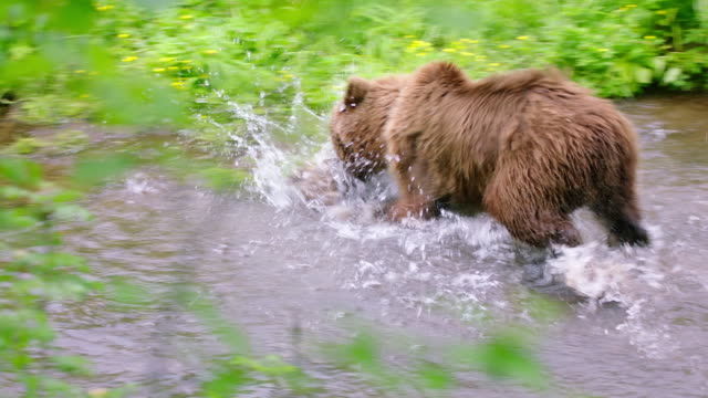 brown bear hunting sockeye salmon in kamchatka,russia - eurasia stock videos and b-roll footage