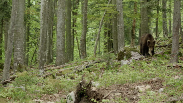 vidéos et rushes de brown bear in beech forest - ours brun