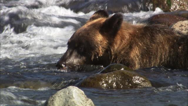 Brown bear in Hokkaido
