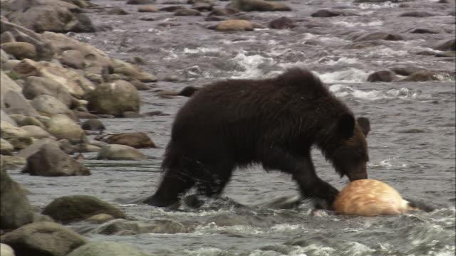 brown bear in hokkaido - deer family stock videos and b-roll footage
