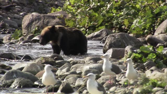 stockvideo's en b-roll-footage met brown bear in hokkaido - bruine beer