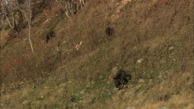 brown bear in hokkaido  - bear cub stock videos and b-roll footage