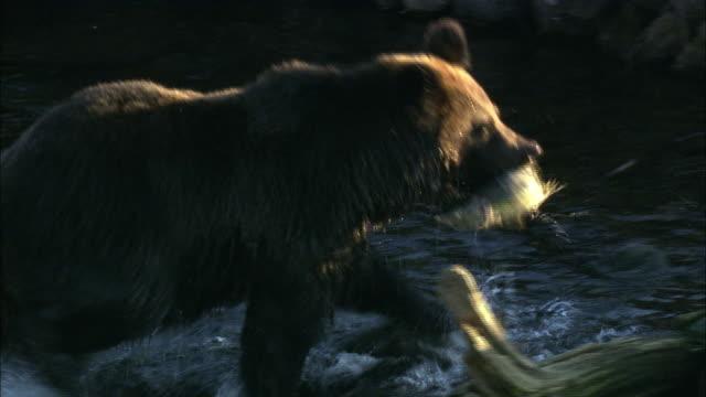 brown bear in hokkaido  - catching stock videos & royalty-free footage