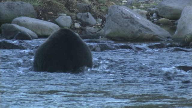 brown bear in hokkaido  - bärenjunges stock-videos und b-roll-filmmaterial