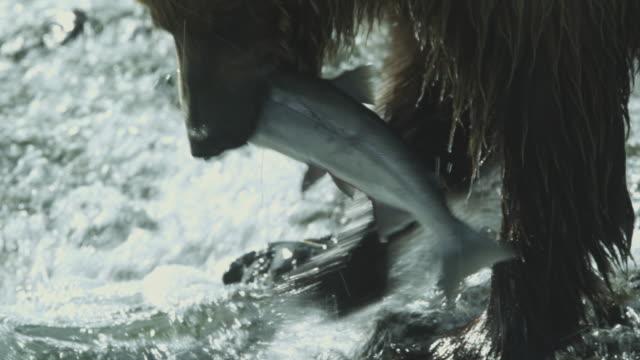 cu brown bear in river catches salmon, mcneil river game range, alaska, 2011 - grizzlybär stock-videos und b-roll-filmmaterial