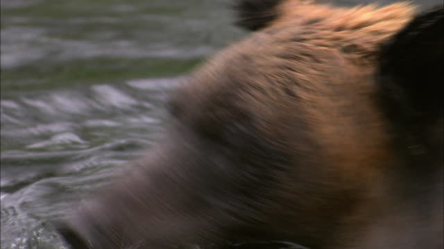 brown bear in the rusha river at sunset in hokkaido  - salmon stock videos & royalty-free footage