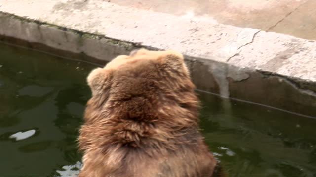stockvideo's en b-roll-footage met brown bear in the water. - minder dan 10 seconden