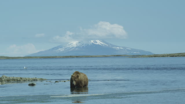 vidéos et rushes de brown bear in water with mount augustine in background, mcneil river game range, alaska, 2011 - ours brun