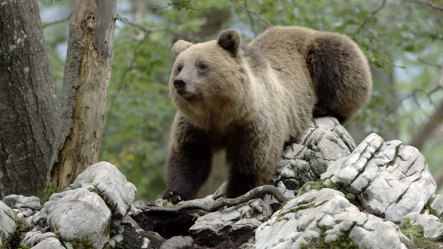 stockvideo's en b-roll-footage met brown bear inside forest - dieren in het wild