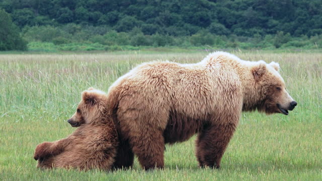 Brown Bear leans up against mom, then falls backwards, from coastal Alaska