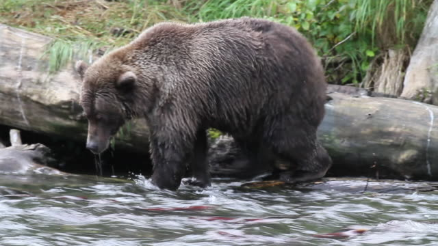 brown bear looking for fish, chugach national forest, alaska. - chugach national forest stock videos & royalty-free footage