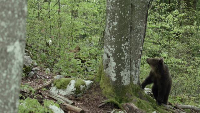vidéos et rushes de brown bear looking for food and sniffing a tree - ours brun