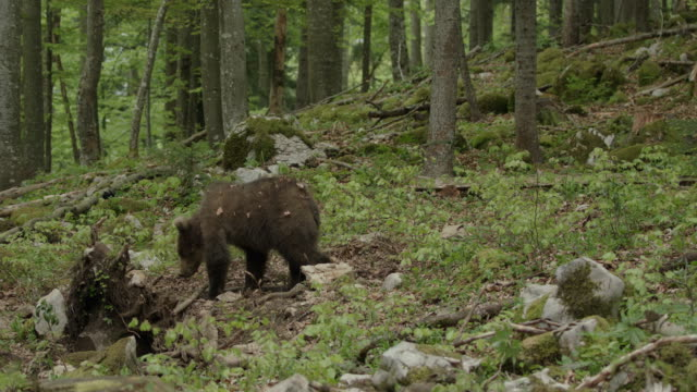 brown bear looking in the woods - 1 - bear stock videos and b-roll footage