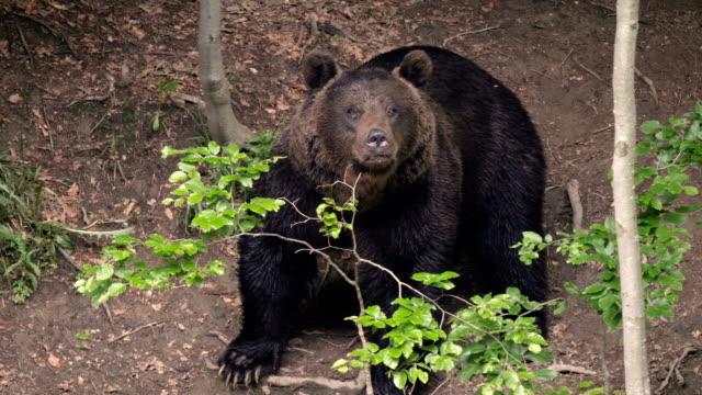 brown bear looking towards camera / carpathian mountains romania - braunbär stock-videos und b-roll-filmmaterial