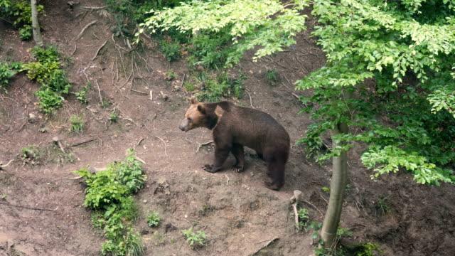 brown bear  looking  towards camera in the forest / carpathian mountains romania - braunbär stock-videos und b-roll-filmmaterial
