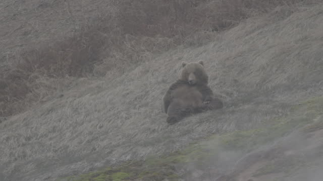brown bear lying down on its back and resting, valley of geysers, kamchatka, russia - lying on back stock videos & royalty-free footage