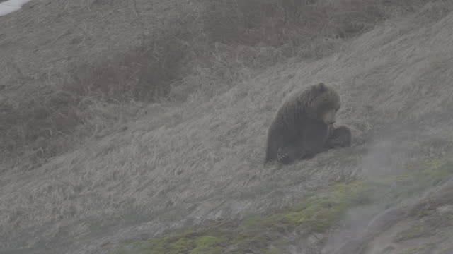 brown bear lying down on its back, valley of geysers, kamchatka, russia - lying on back stock videos & royalty-free footage