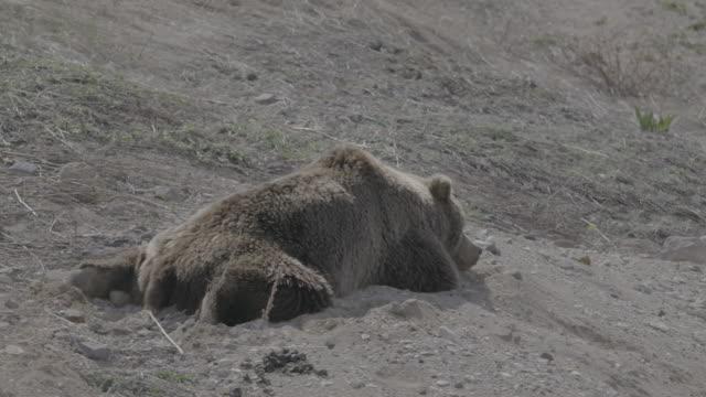 vídeos y material grabado en eventos de stock de brown bear lying face down and dozing, valley of geysers, kamchatka, russia - oreja animal