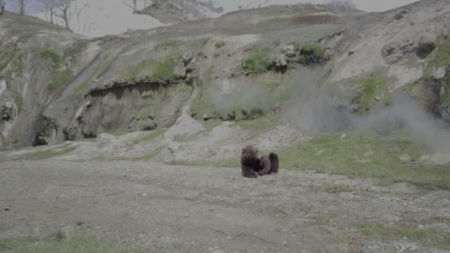 brown bear lying face down, valley of geysers, kamchatka, russia - animal head stock videos & royalty-free footage