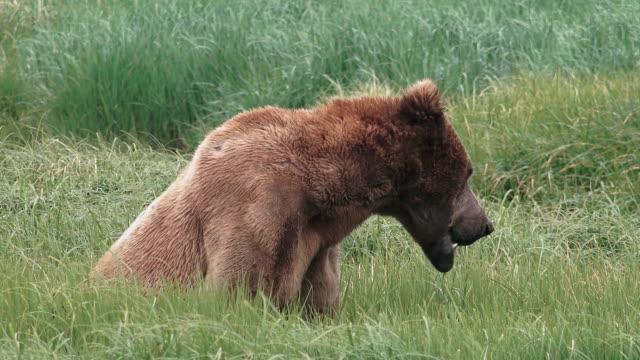 Brown Bear male eating grass,  from coastal Alaska