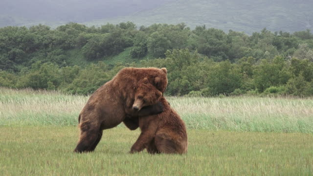 brown bear males spar,  from coastal alaska - conflittualità video stock e b–roll