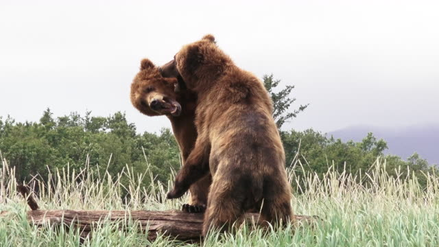 brown bear males sparring, coastal alaska - bear stock videos and b-roll footage