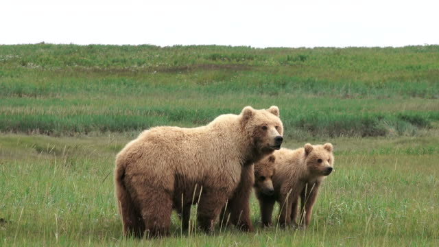Brown Bear mom and cubs concerned about male bear and hustle away,  from coastal Alaska