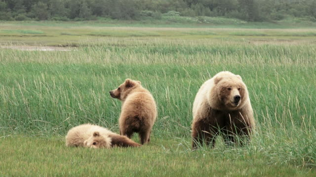 vídeos de stock, filmes e b-roll de brown bear mom and cubs, one cub lies down,  from coastal alaska - três animais