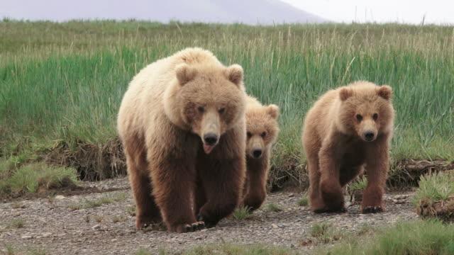 Brown Bear mom and cubs walk forward, from coastal Alaska