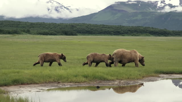 brown bear mom and cubs walk right with reflections,  from coastal alaska - bear cub stock videos and b-roll footage