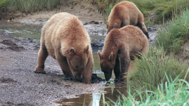 Brown Bear mother and cubs dig for food in creek, from coastal Alaska