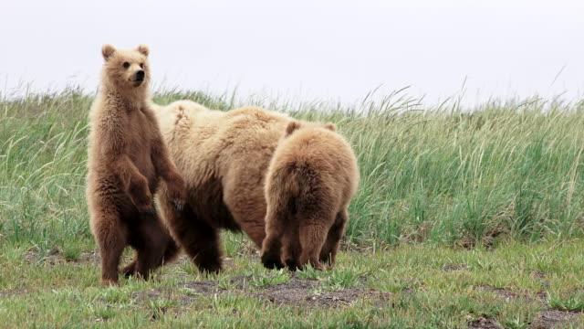 Brown Bear mother and cubs, one stands, one sits next to mom, from coastal Alaska