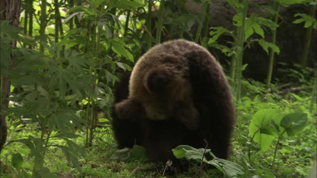 brown bear of hokkaido - scratching stock videos & royalty-free footage